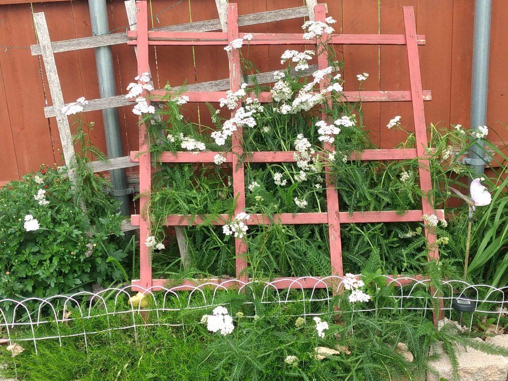 white yarrow along a fence